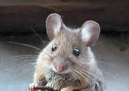 Mice Exposed to Diagnostic Ultrasound Exhibit Autistic-Like Social Behaviors